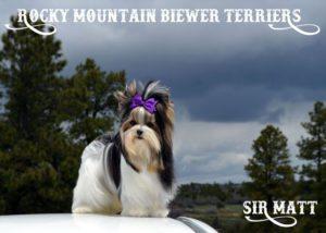 Biewer Terrier Studs Rocky Mountain Sir Matt