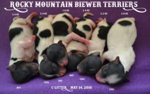 Rocky Mountain Biewer Terriers C-Litter DOB: May 14, 2016
