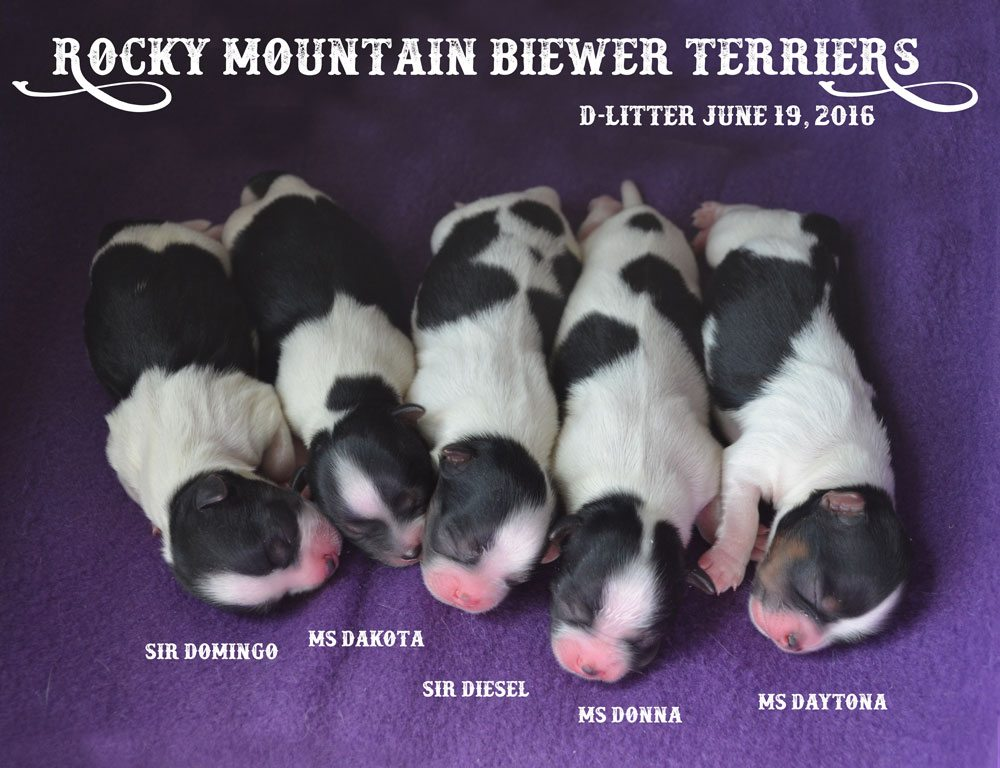 Rocky Mountain Biewer Terriers D-Litter