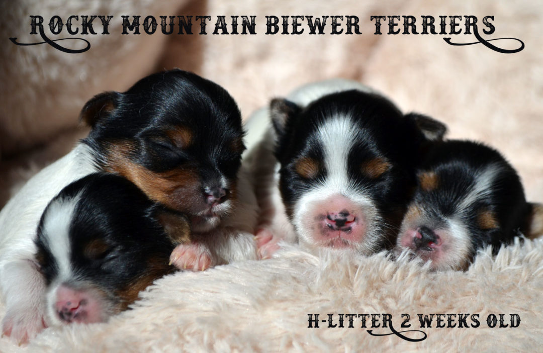 Rocky Mountain's H-Litter 2 Weeks old
