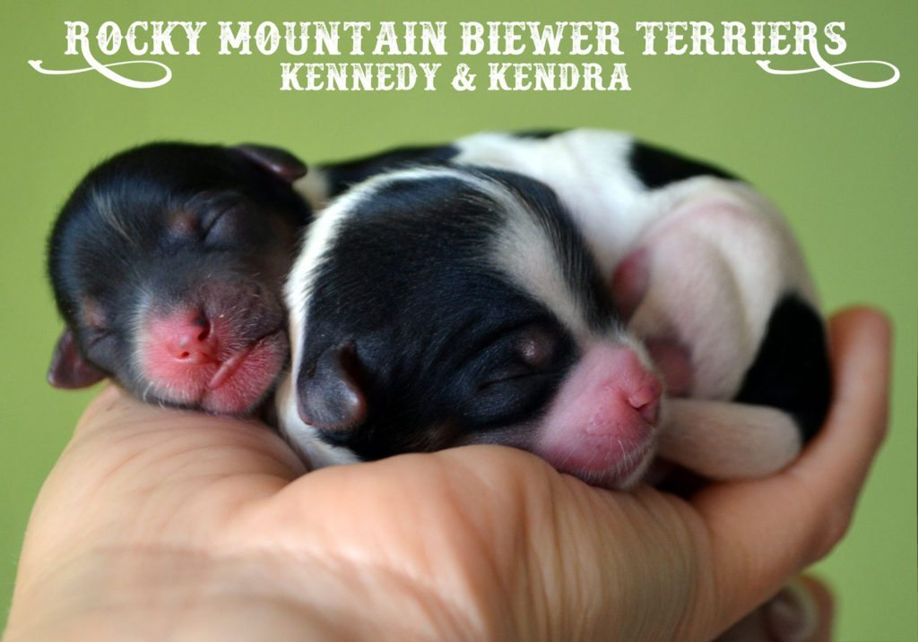 Rocky Mountain Biewer Terriers K-Litter