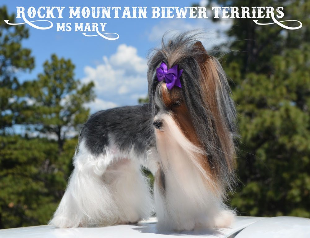 Rocky Mountain Biewer Terriers Ms Mary