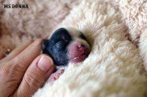 Cleft lip Biewer Puppy Ms Donna
