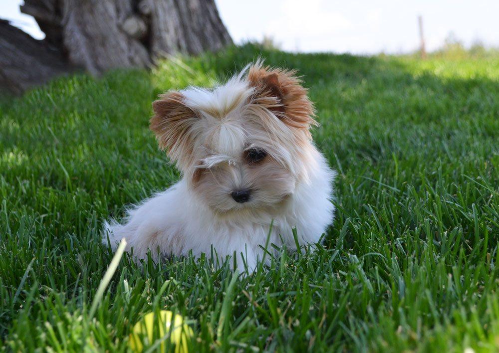 Muffin Golddust Biewer Terrier