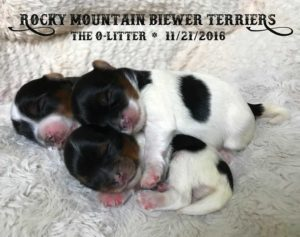 Rocky Mountain Biewer Terriers O-Litter