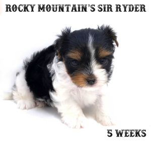 Rocky Mountain Biewer Terriers R-Litter