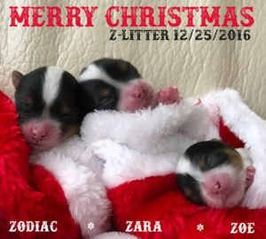 Rocky Mountain Biewer Terriers Z-Litter