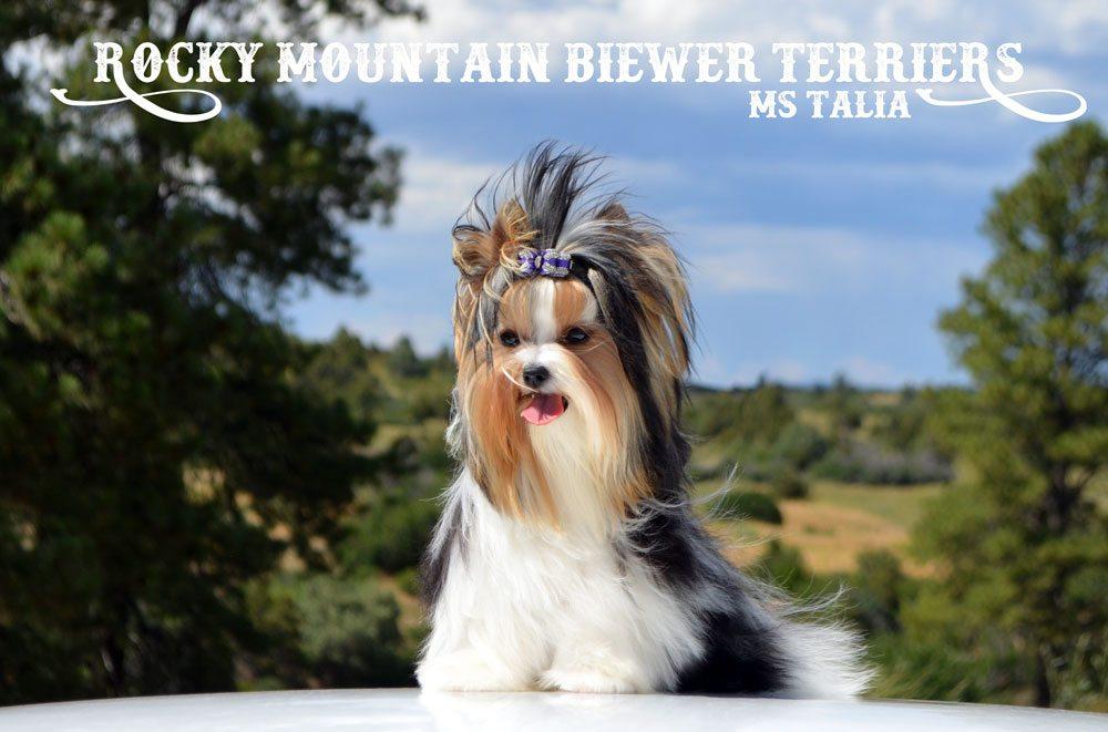 Standard Biewer Terrier Daniel Konti Ms Talia