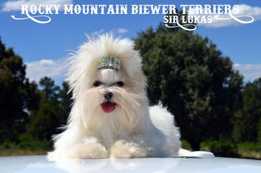 Rocky Mountain's Sir Lukas Cream White Golddust Biewer Terrier
