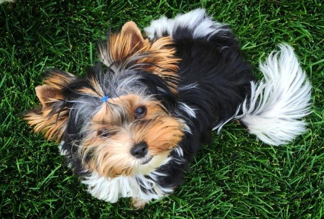 Cutest Biewer Terrier Puppy