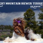 Biewer Terrier Studs Rocky Mountain Sir Denver Chocolate Biewer Terrier