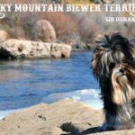 Rocky Mountain Biewer Terrier Stud Sir Durango