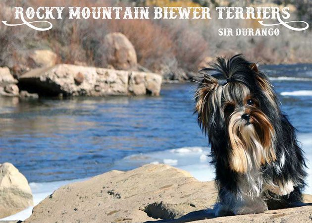 Rocky Mountain Biewer Terrier Stud Sir Durango