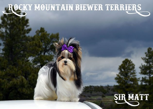 Biewer Terrier Studs Rocky Mountain Sir Matt