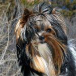 Rocky Mountain Biewer Terriers Sir Durango