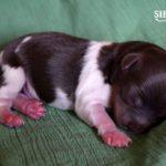 Chocolate Biewer Terrier Biro Sir Ea