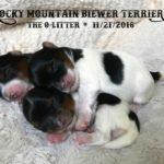 Rocky Mountain Biewer Terriers O-Litter
