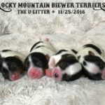 Rocky Mountain Biewer Terriers U-Litter