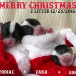 Rocky Mountain Biewer Terriers Z-Litter