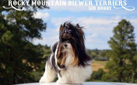 Biewer Terrier Stud Sir Bobby