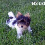 Rocky Mountain's Ms Celine AKC registered Biewer Terrier Girl
