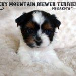 Ms Dakota Cutest Biewer Terrier Puppy