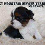Ms Dakota Biewer Terrier Puppy Girl