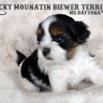 Rocky Mountain Biewer Terrier Puppy Ms Daytona