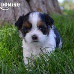 AKC Biewer Terrier Puppy Sir Domino