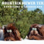Biro Chocolate Biewer Terriers