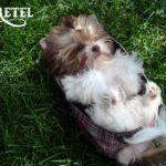 Ms Gretel Mini Chocolate Puppy Girl