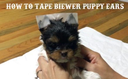 How to tape floppy Biewer Terrier Puppy Ears