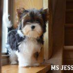 Ms Jessica Biewer Terrier Girl