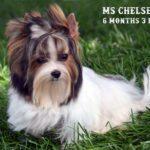 Ms Chelsea - Mini Biewer Girl