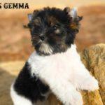 Ms Gemma Biewer Terrier Girl