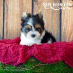 Biewer Terrier Rocky Mountain Sir Hunter