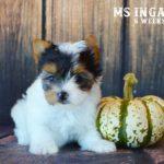 Ms Inga AKC Biewer Terrier Girl
