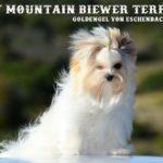 Gold dust Biewer Terrier