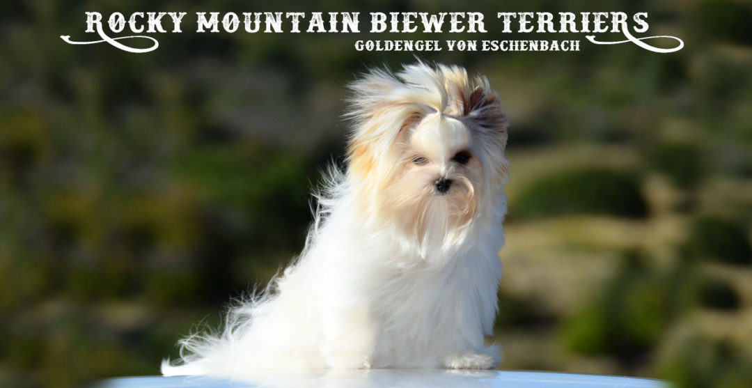 Gold dust Biewer Terrier