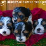 Available Biewer Terrier Puppies