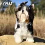 Ms Polly Biewer Terrier Girl