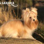 Ms Sahara Golddust Mini Girl