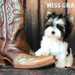 Ms Gracie Biewer Terrier Puppy