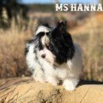 Ms Hannah Mini Biewer Terrier Girl