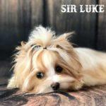 Sir Luke Golddust Boy Puppy