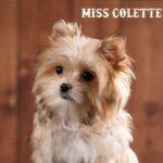 Miss Colette Mini Golddust Girl