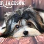 Sir Jackson Biewer Terrier Boy