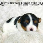 Miss Unity Biewer Terrier Girl