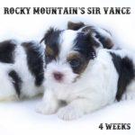 Sir Vance AKC Registered Chocolate Biewer Terrier