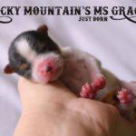 Miss Gracie AKC Mini Biewer Terrier Girl
